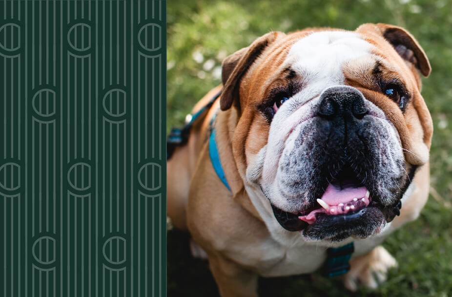split image with vertical green rectangle overlaid with white vertical lines and the letter C repeated on the left and color photo of bulldog facing camera on the right