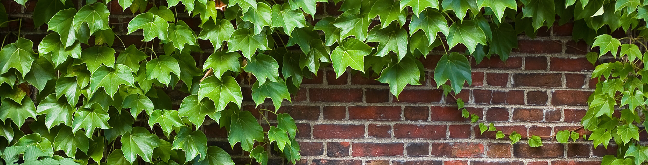 wide angle color photo of green ivy on a brick wall